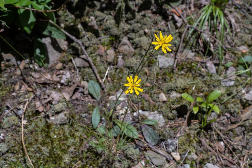 Shenandoah: Rattlesnake Hawkweed on Appalachian Trail