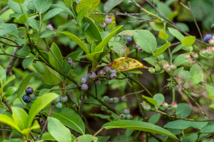 Shenandoah: Blueberries on Riprap Trail