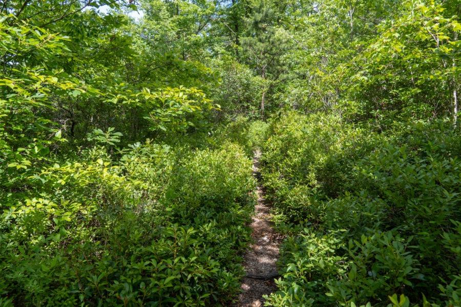 Shenandoah: Riprap Trail Lined with Blueberry Bushes