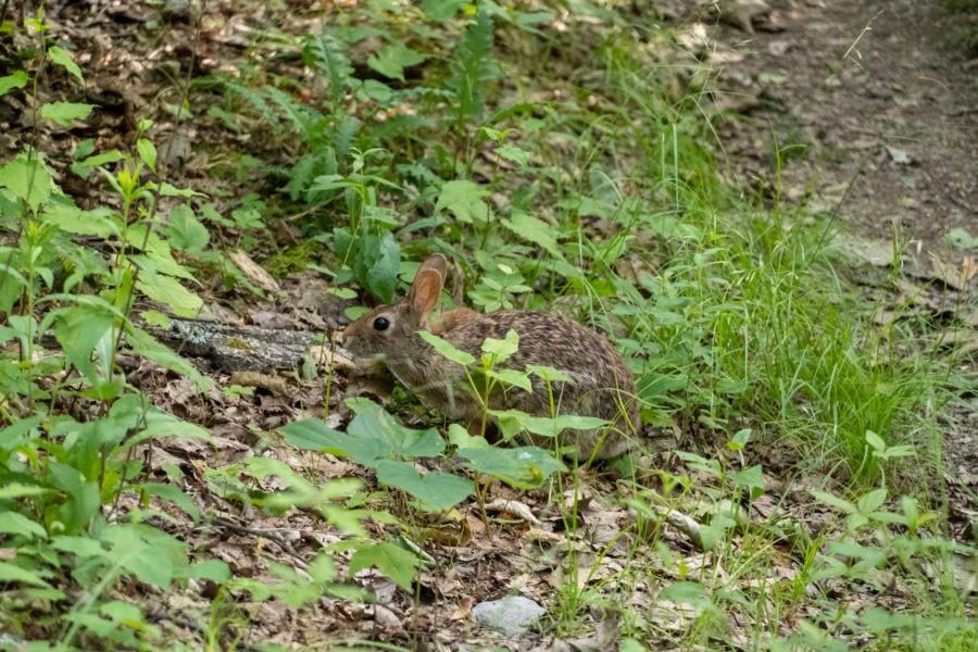 Shenandoah: Eastern Cottontail Rabbit on Wildcat Ridge Trail