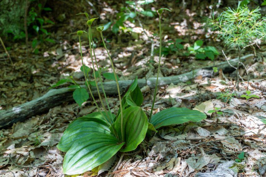 Shenandoah: Old Pink Lady's Slipper on Hazel Mountain Trail