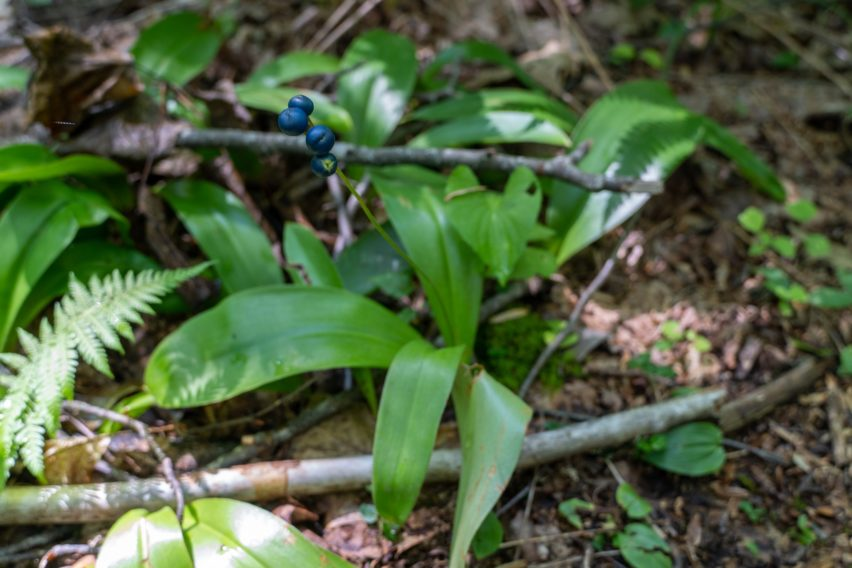 Shenandoah: Yellow Clintonia Fruit on Catlett Spur Trail