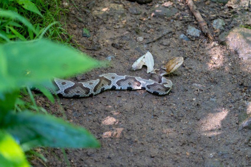 Shenandoah: Copperhead Snake on White Rocks Trail
