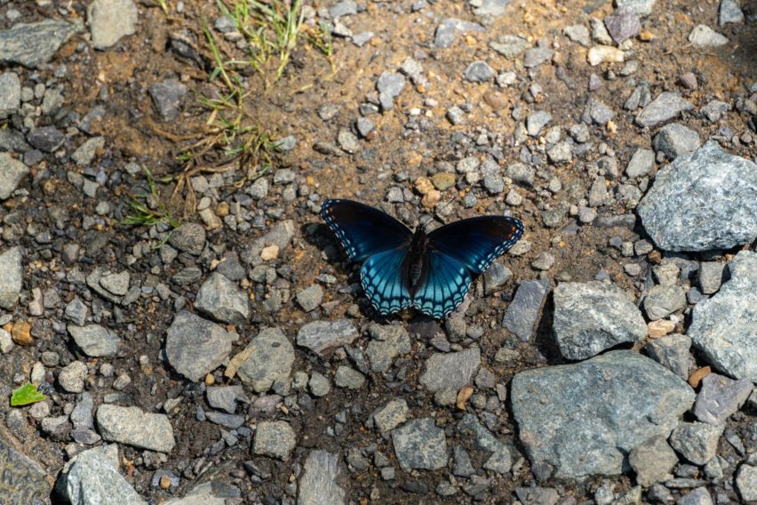 Shenandoah: Red-spotted Purple Butterfly on Nethers Road