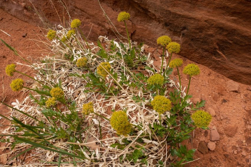 Arches: Canyonlands Biscuitroot Along Tower Arch Trail